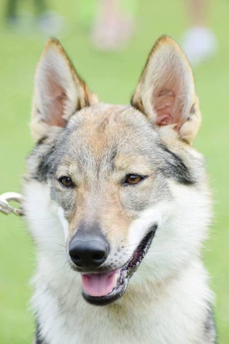 Bamboocha Wolfdog Bohemia